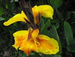 Yellow Canna Lily by wkdown
