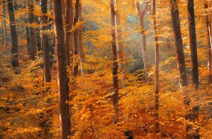 Golden forest by valiunic