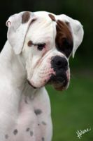 Blitz the White Boxer by RoninBoxers