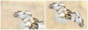 Before and After Red Tail Hawk by lost-nomad07