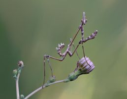 purple Praying Mantis by lisans