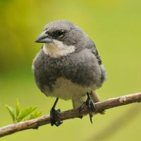 Diuca Finch 1 - Easter Island by wildplaces