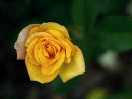 Yellow Rose - Shallow by KBeezie
