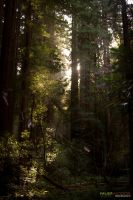 Muir Woods 11 by massivefocus