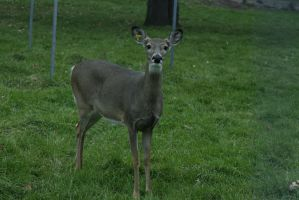 White-Tailed Deer 7 by CastleGraphics