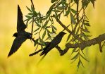 Swallows by ohlopkov