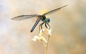 Blue Dasher on Gold by Monkeystyle3000