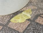 Leaf Butterfly 01 by alesaenz