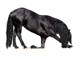 Ready.To.Use Friesian Stallion by MED-Stock