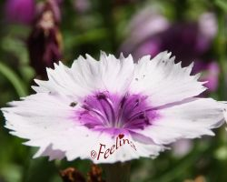 White Purple Carnation by Feelin3