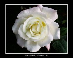 White Rose 152 by Eolhin