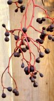 Withered Grapes on Grapevine by SweetSoulSister