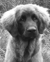 dog leonberger by Judofighter78