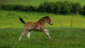 Foal 01 by candigal