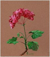 pink pelargonium by kosharik69