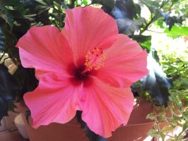 Hibiscus by riorval