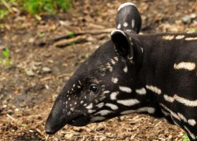 Tapir Calf by Shadow-and-Flame-86