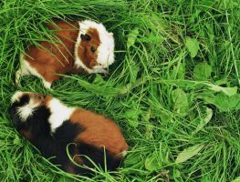 Nesting Guineas by pawni