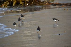Black Turnstones by Kiloueka