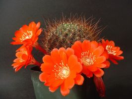 Rebutia kupperiana by secondclaw