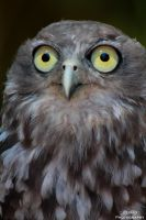 Bundy the Barking Owl by szekley