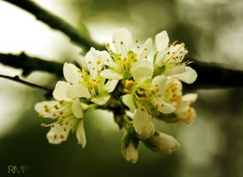 Plum Blossom by lost-remains