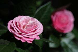 Rose 2 by Arctictouch