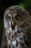 Great Gray Owl by robbobert