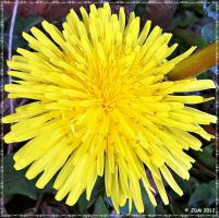 Dandelion by JDM4CHRIST