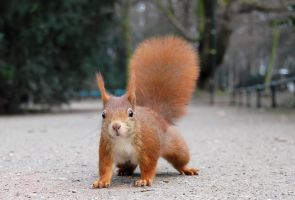 Squirrel by danieljales