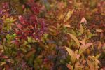 Spirea by darkalexander