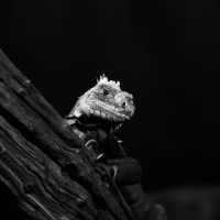 Lesser Antilles Iguana 198-10j by Haywood-Photography