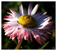 common daisy... one more time by grandma-S