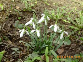 Snowdrops 2014 by Dreamer-In-Shadows
