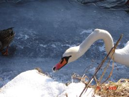 Swan on the frozen river by CapriXPL