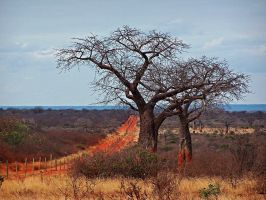 Baobab by GianlucaDeMutiis