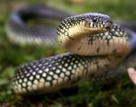 Speckled Kingsnake by FabulaPhoto