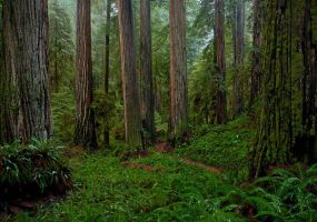 Redwoods In Rain by enunez