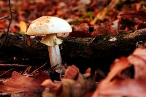 Cep in forest by Solco90