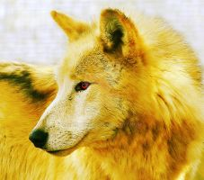 Golden Wolf - Manipulation by CanuckZD