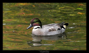 Falcated Duck by MrDeKat