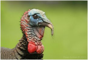 Wild Turkey by Ryser915