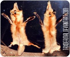 Red Foxes - SALE - by Taxidermal