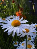 Pretty daisies by Ranae490