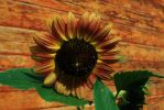 Sunflower by rustyshacklefjord