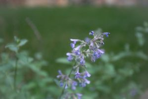 Catmint by Aint-No-Angel
