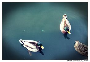 Serious Duck Meeting... by animal-nitrate