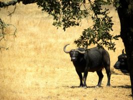 This is a Buffalo by soyrwoo