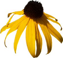 Black Eyed Susan PNG by Thy-Darkest-Hour