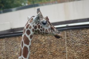 Giraffe Stock 03 by Jaded-Night-Stock